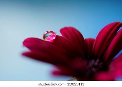 Droplet on a purple flower Petal