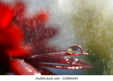 Droplet on a red flower petal while raining