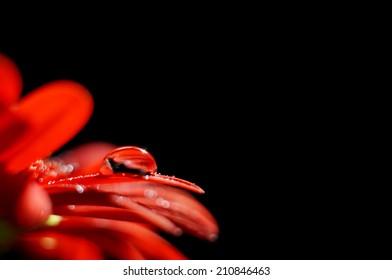 Droplet on red flower petal and black background