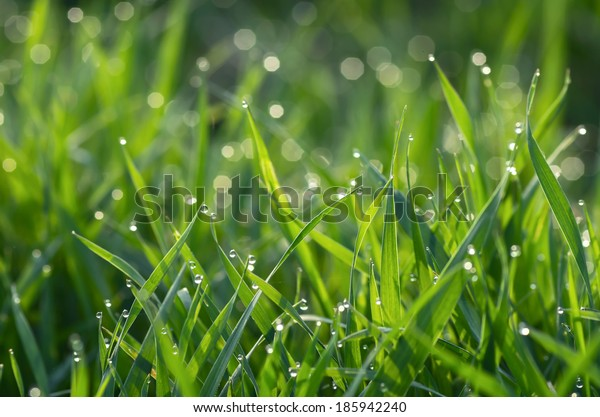 Droplets of dew on fresh green grass
