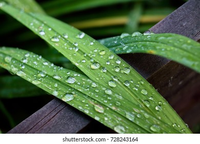Droplets on a day lily leaf