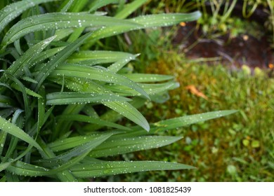 Droplets of rain cover the long green leaves of a daylily in selective focus