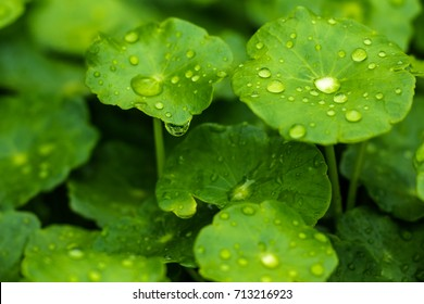 Drops after rain on green leaves