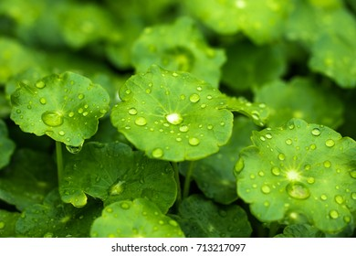 Drops after rain on green leaves.
