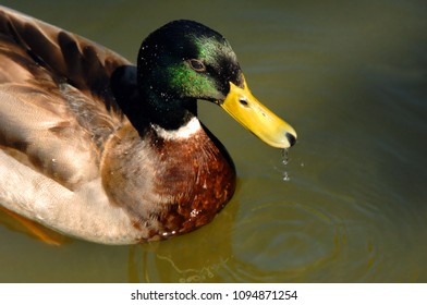 Drops cling to the water repellant feathers of this Mallard duck.  A large drop drips from his beak.