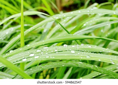 Drops of dew on grass, green grass background.