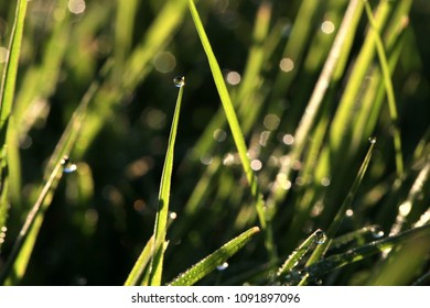 Drops of dew on the grass. Morning on a warm summer day in the garden