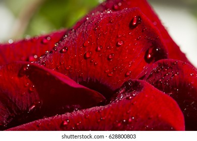 Drops of dew on the petals of a red rose.