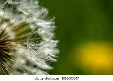 the drops of dew on the pistils of a dandelion on a green background