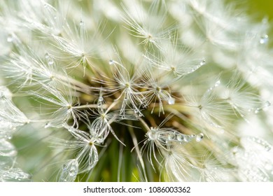 the drops of dew on the pistils of a dandelion