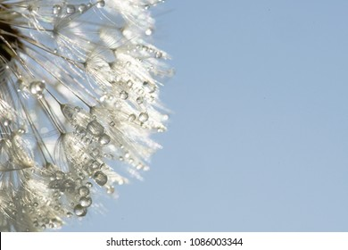 the drops of dew on the white pistils of a dandelion