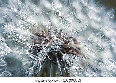 the drops of dew on the white pistils of a dandelion tinged with blue