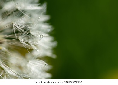 the drops of dew on the white pistils of a dandelion on a green background