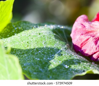 drops of dew, rain on a leaf and a flower of a nastrution