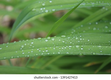 Drops, droplets of rain, water on the leaves of wild crin