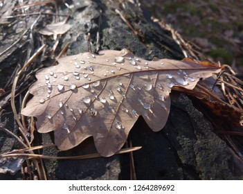 Drops of morning dew adorned the oak leaves on the ground.