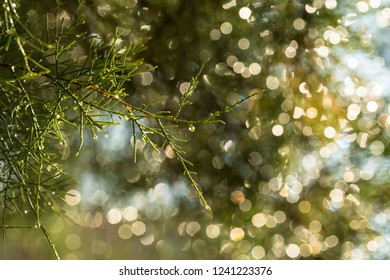 Drops of morning dew on coniferous branches