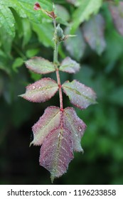 Drops of morning dew on red-green young leaves of a rose on a cool autumn morning. Close-up. Macro. Soft focus effect.