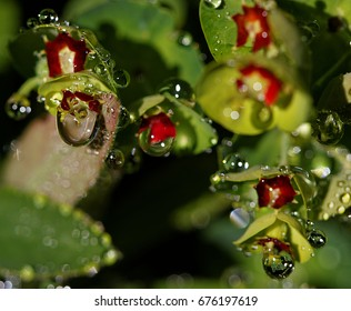 Drops of morning water on a spurge : Euphorbia Efanthia