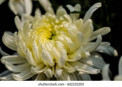 Drops on chrysanthemum