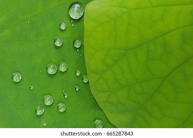 Drops on lotus leaf.