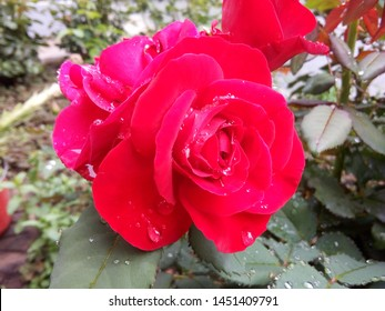 Drops rain on red rose. Rose suitable for further processing.