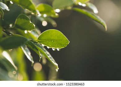 Drops of rain water on green leaf texture, Close up beautiful leaves pattern or Green leaf wallpaper Can use for natural background concept, Abstract texture of nature.