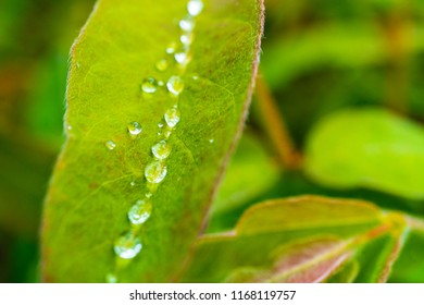 Drops of water accumulated in the center of the honeysuckle leaf, a series of drops of water after rain