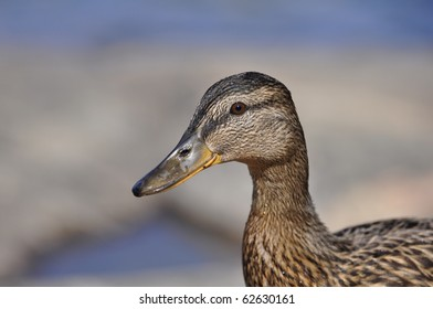 Drops of water on the face of a female Mallard