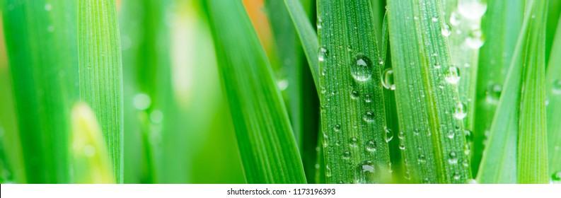 Drops of water on the grass in the springtime