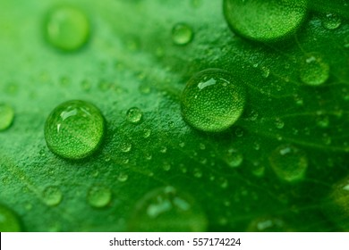 Drops Water on Green Leaves /Macro Close Up