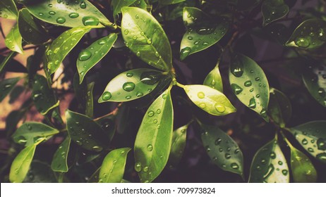 Drops water on leaves after raining in morning black concept.