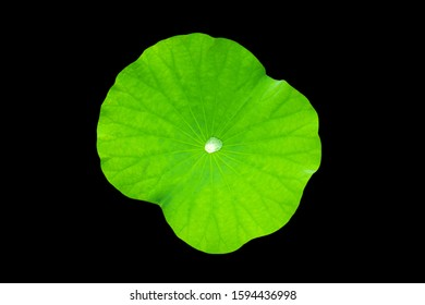 Drops of water on the lotus leaf, with colors black  background appropriate the Backdrop, idea copy space
