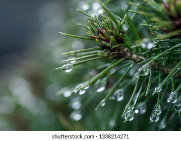 drops of water on the needles of a tree