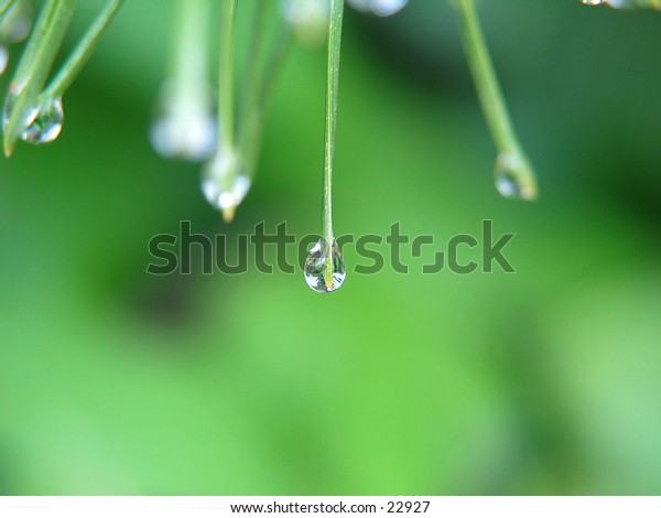 Drops of water on pine needles