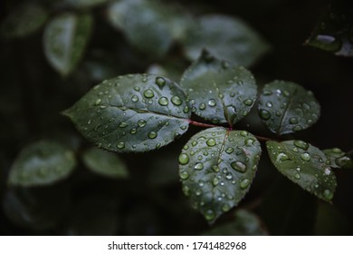 Drops of water on rose leaves after rain. Dark nature background