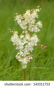 Dropwort flower (Filipendula vulgaris) in Martin Down Nature Reserve, England