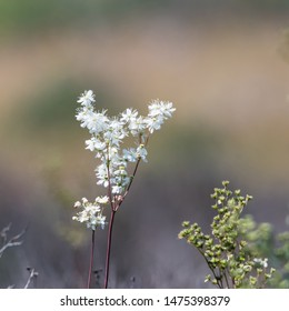 Dropwort summer flower close up by a blurred background