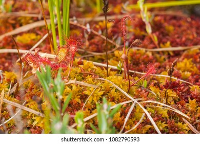 Drosera anglica, commonly known as the English sundew or great sundew, is a carnivorous plant species belonging to the sundew family Droseraceae.