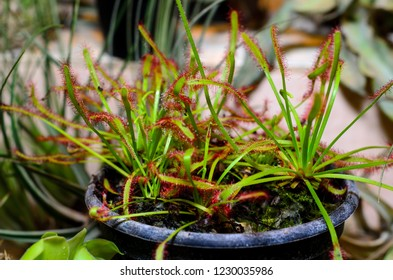 Drosera capensis, commonly known as the Cape sundew.