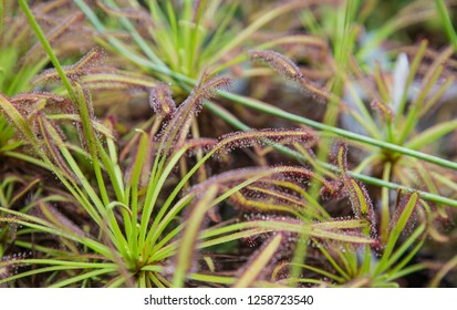 Drosera capensis known as the Cape sundew.