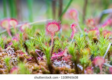 Drosera, commonly known as the sundews, is one of the largest genera of carnivorous plants,
