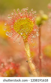 drosera intermedia close up in nature