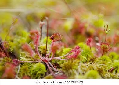 Drosera rotundifolia, the round-leaved sundew or common sundew, a carnivorous plant, close up