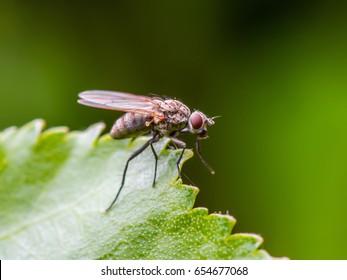 Drosophila Fruit Fly Diptera Insect on Green Leaf Macro