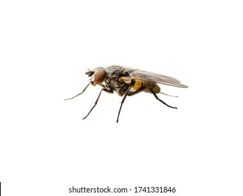 Drosophila Fruit Fly Diptera Parasite Insect Isolated on White Background