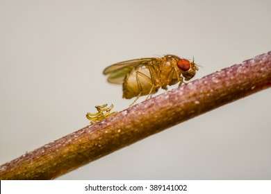 Drosophila lay eggs on the branches.