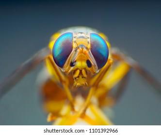 Drosophila melanogaster Extreme macro shot eye of Drosophila melanogaster in wild. Close up detail of eye Drosophila melanogasteris very small. on leave. Selective focus.