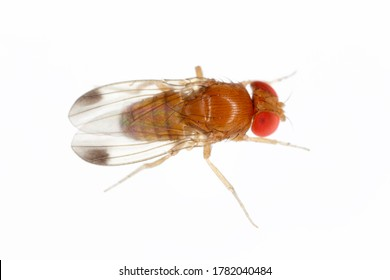 Drosophila suzuki - commonly called the spotted wing drosophila or SWD. It is a fruit fly a major pest species of many kind of fruits in America and Europe. Adult insect on a white background.