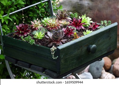 Drought resistant sempervivum and Sedum plants are sitting in a wooden drawer as a decorative feature in the Patio garden
